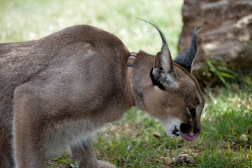 A cute Caracal eating food in Jugomaro predator park
