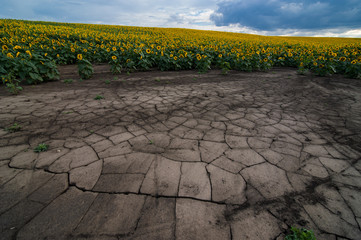 panoramic view of soil erosion with cracks on sunflower field