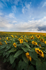 Fototapete - View of field sunflowers with the blue sky