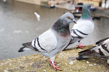 Taube, Tauben auf einer Mauer
