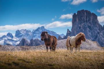 ponies on meadow in italien dolomites in south tyrol, beautiful scenery in italien alps
