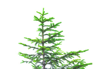 green pine tree with difficulties in growing in alpine mountain landscape. isolated on white
