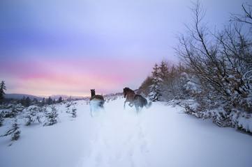 Wild galoppierende Pferde im verschneiten Winterwald