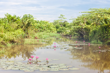Beruwela, Sri Lanka - Blooming water lilies on a lake near Beruwela