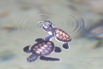Koscoda, Sri Lanka - Two little turtles playing at the water surface