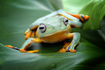 Tree frog, Javan tree frog, flying frog on leaves