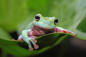 Tree frog, animal, dumpy frog on leaves