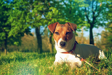 Portrait of Jack Russell Terrier. A dog in a clearing with green grass in a large beautiful city park at sunset on a sunny day closeup