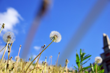 White fluffy dandelions against the background of the blue sky