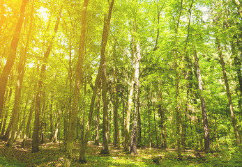 Beautiful green forest background with sunny beams.