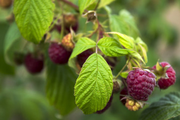 Ripe raspberry hanging from a branch in the garden, tasty and healthy red berries.