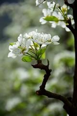 Birnbaumblüte, Blütezeit in Südtirol