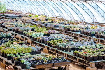 A large succulent collection in greenhouse