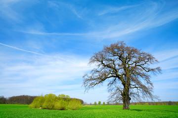 Wall Mural - Alte knorrige Eiche, grünes Feld und blauer Himmel im Frühling