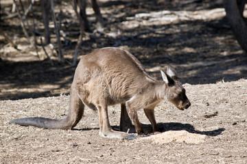 Kangaroo-Island kangaroo
