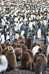 King Penguins (Aptenodytes patagonicus), Salisbury Plain, South Georgia.