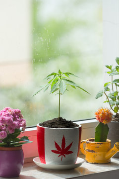 Marijuana growing in pot with Canadian flag print symbolizing its legal use