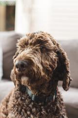 Portrait of a labradoodle dog