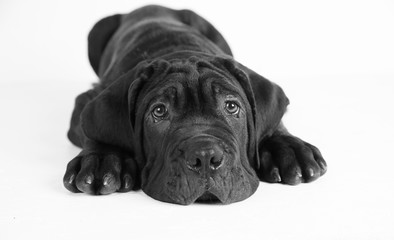 Black puppy laying down