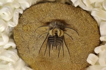 発掘された三葉虫の化石