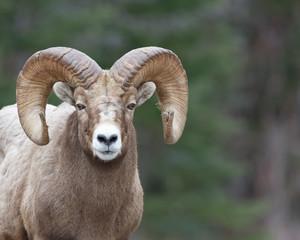 Tamarack Ram