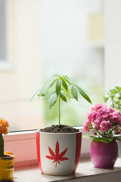 Marijuana plant growing in small pot with canadian flag print