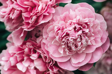 beautiful peony blooms