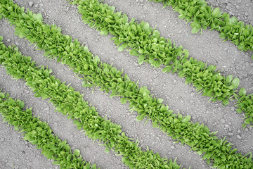Rows of young vegetable seedlings in spring