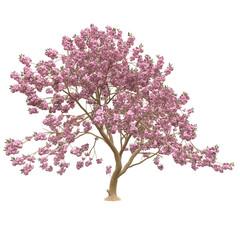 Pink sakura tree, cherry blossom isolated on white background.