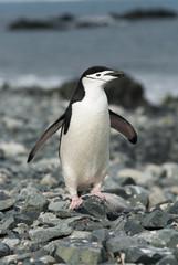 Chinstrap Penguins (Pygoscelis antarctica), Antarctica.