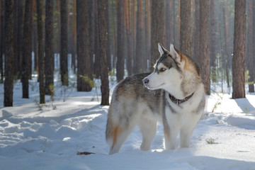 Siberian husky dog in the winter forest.