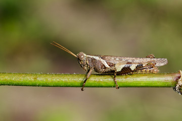 Image of White-banded Grasshopper(Stenocatantops splendens) on the green branch. Insect. Animal.