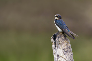 Image of Barn swallow bird (Hirundo rustica) on the stumps on the natural background. Bird. Animal.