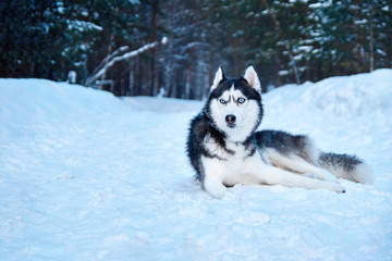 Beautiful husky dogs walk in the winter Park. Siberian husky black and white with blue eyes lying on snow. Copy space.