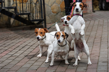 Gorgeous puppies of Jack Russell Terrier in the yard.