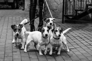 Gorgeous puppies of Jack Russell Terrier in the yard.BW.