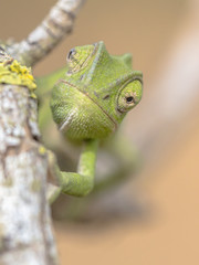 Frontal view African chameleon on stick