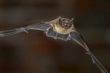 Close up of Flying Pipistrelle bat