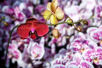 Branch pink, purple, red, white and yellow orchid with dark background, light on Orchid