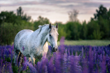 Papiers peints Chevaux Portrait of a grey horse among lupine flowers.