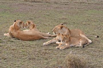Löwenfamilie mit Jungtier in der Savanne, Masai Mara, Kenia