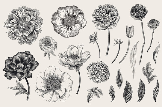 Set. Spring flowers. Peonies, tulip, ranunculus, rose. Vintage vector botanical illustration. Black and white