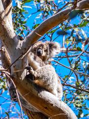 Cute Australian sleepy koala bear
