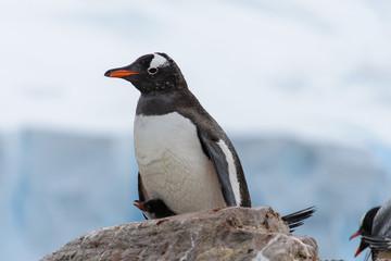Gentoo penguin's chicks in nest