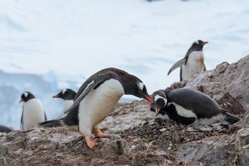 Gentoo penguin in nest