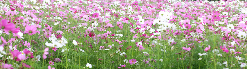 Blurred wild Cosmos flowers spring landscape banner background with copy space.