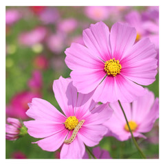 Little worm on Wild Cosmos flowers spring landscape background with copy space.