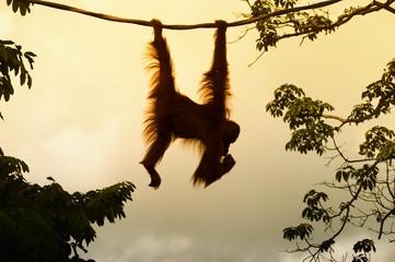 Bornean Orangutan (Pongo pygmaeus) hanging on a rope, Singapore, Asia