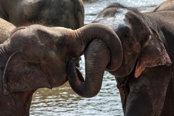 Asian elephants (Elephas maximus), young bulls playing, Pinnawala Elephant Orphanage, Central Province, Sri Lanka, Asia