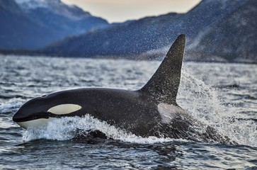 Orca or killer whale (Orcinus orca), Kaldfjorden, Norway, Europe